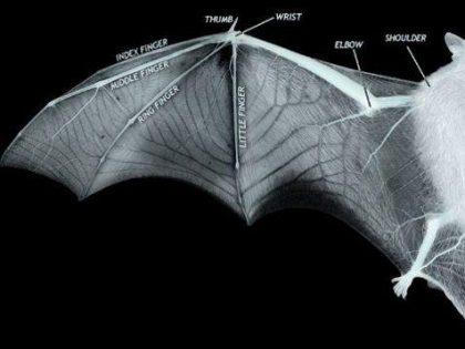 Nuovo modello di ala di pipistrello 3D per i velivoli del futuro